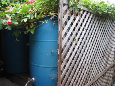 One of eight rain barrels in a series is partially hidden by a screen and overgrown with beautiful passion flower vines.