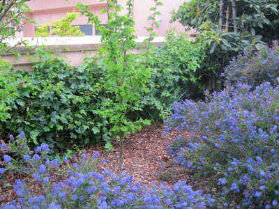 Beautiful ceanothus, passionfruit vines, and a nut tree are thriving with mulch protecting the soil around them from drying out.