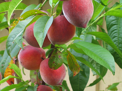 Ripe peaches hang from a branch of a tree in this edible food forest.
